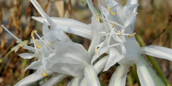 Pancratium maritimum, un fiore bianco tra la terra e il mare.