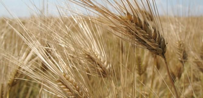 Il grano come prodotto vitale per la sicurezza. Intervista al ricercatore Sébastien Abis