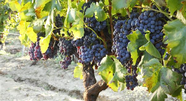 Cannonau, storia e qualità del vitigno di lunga vita