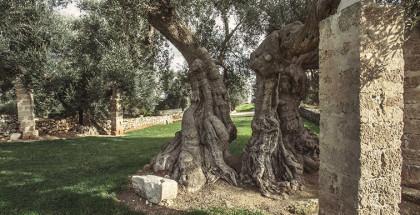 Borgo San Marco - Fasano (Br): ulivo millenario