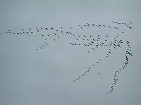 Migrazione delle gru