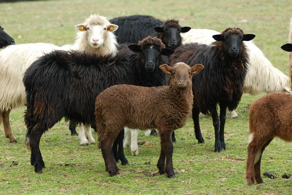 Pecore nere di Arbus