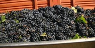 Ettolitri di uva
