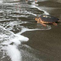 """Un Tuffo nel Blu: successo per la liberazione di dieci esemplari di tartaruga """"Caretta caretta"""" a Napoli"""
