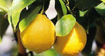 Pianta di limoni