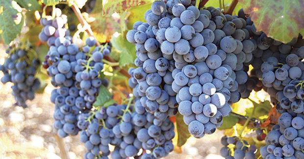 Primitivo di Manduria, un vino dai grandi numeri