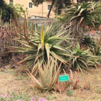 L'Aloe, usi e proprietà della pianta che cresce rigogliosa in Sardegna