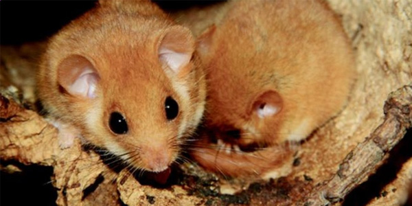 Il moscardino: tutela di un piccolo roditore che indica la salute dei boschi