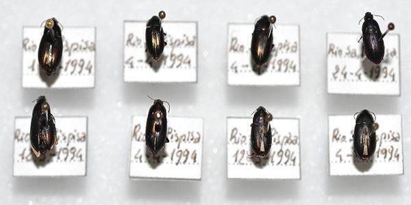Sull'accertata presenza in Sardegna di Amara (Paracelia) rufoaenea Dejean, 1828 (Coleoptera Carabidae)