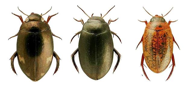 Contributo preliminare alla conoscenza degli Hydroadephaga del territorio montano di Dolianova (Sardegna sud orientale) (Coleoptera, Hydroadephaga)