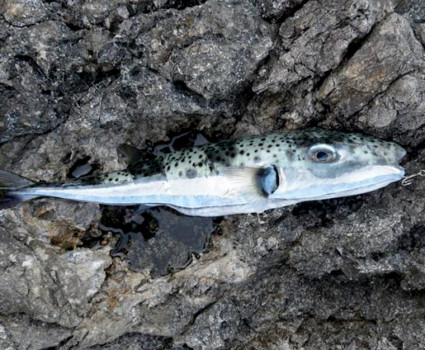 pesce palla mediterraneo