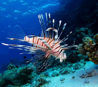 pesce scorpione mediterraneo