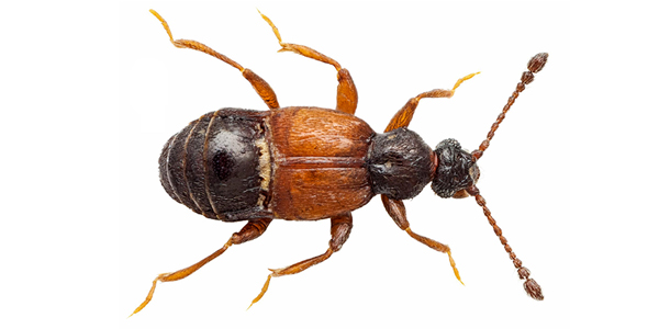 Prima segnalazione di Brachygluta appennina (Saulcy, 1876) per la fauna sarda   (Coleoptera Staphylinidae, Pselaphinae, Trogastrini)