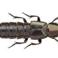 Prima segnalazione per la Sardegna di Philonthus splendens (Fabricius, 1792) (Coleoptera, Staphylinidae, Philonthina )