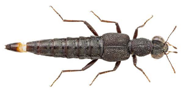 Prima segnalazione per la Sardegna di Stenus (Tesnus) hypoproditor (Puthz, 1965) (Coleoptera, Staphylinidae, Stenini )