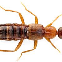 Prima segnalazione per la Sardegna di  Falagrioma thoracica (Stephens, 1832) (Coleoptera, Staphylinidae, Aleocharinae, Falagriini )