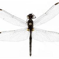 Conferma di presenza per la Sardegna di Diplacodes lefebvrii (Rambur 1842) (Odonata Libellulidae)