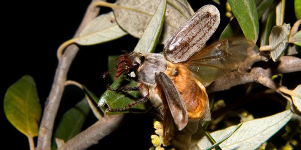 Nuovi dati bio-etologici sull'endemismo sardo Melolontha sardiniensis Drumont, Muret, Hayer & Penner, 1999 (Coleoptera, Scarabaeoidea, Melolonthidae)