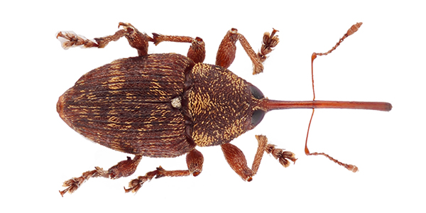 Nuovi dati corologici su Curculio (Curculio) betulae (Stephens, 1831) in Sardegna (Coleoptera Curculionidae)