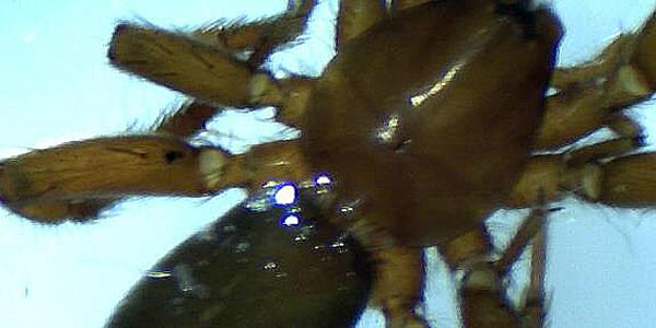 Prima segnalazione per la Sardegna di Trachyzelotes huberti (Platnick & Murphy, 1984) (Arachnida, Araneae, Gnaphosidae)