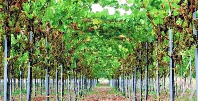 Il Moscato di Trani era già noto nel Medioevo e tutt'oggi è tra i vini da dessert più apprezzati. Franco di Filippo ci ha sempre creduto e da anni si dedica a questo nobile vitigno pugliese.