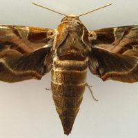 Recenti segnalazioni per la Sardegna di Daphnis nerii (Linnaeus, 1758) (Lepidoptera: Sphingidae)