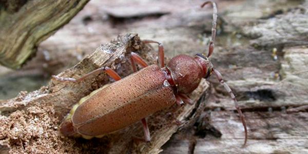 Nuovi dati corologici su Hesperophanes melonii Fancello & Cillo, 2012                         (Coleoptera, Cerambycidae, Cerambycinae)