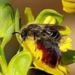 Ophrys (Orchidaceae: Orchidinae) della Sardegna: nuovi aggiornamenti sugli impollinatori