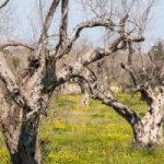 Parassiti vegetali come la xylella fastidiosa, un'emergenza Ue da centinaia di miliardi