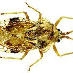 """Prima intercettazione in Sardegna dell'emittero """"alieno"""" Corythauma ayyari (Drake, 1933), specie potenzialmente invasiva dannosa a piante ornamentali (Insecta, Hemiptera, Heteroptera, Tingidae)"""