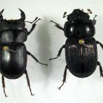 Osservazioni ecologiche e nuovi dati corologici su Dorcus musimon Gené, 1836 (Coleoptera, Lucanidae)