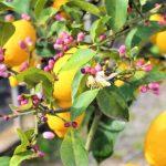 Il Limone Flegreo ottiene il riconoscimento di prodotto tradizionale